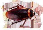 australian_cockroach