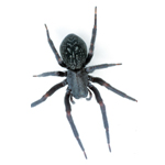 blackhouse-spider
