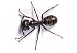 carpenter-ant-pest-control