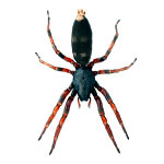 white-tail-spider