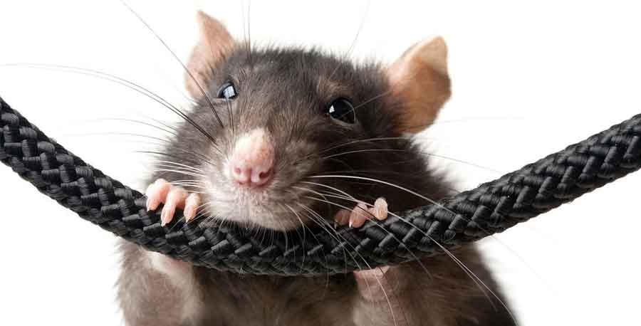 how to kill rats and mice in your home
