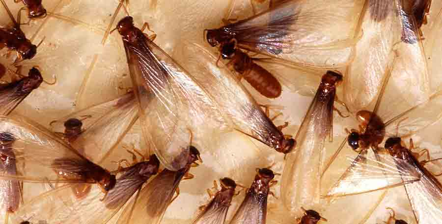 What Is A Termite Alate Sydney S Best Pest Control