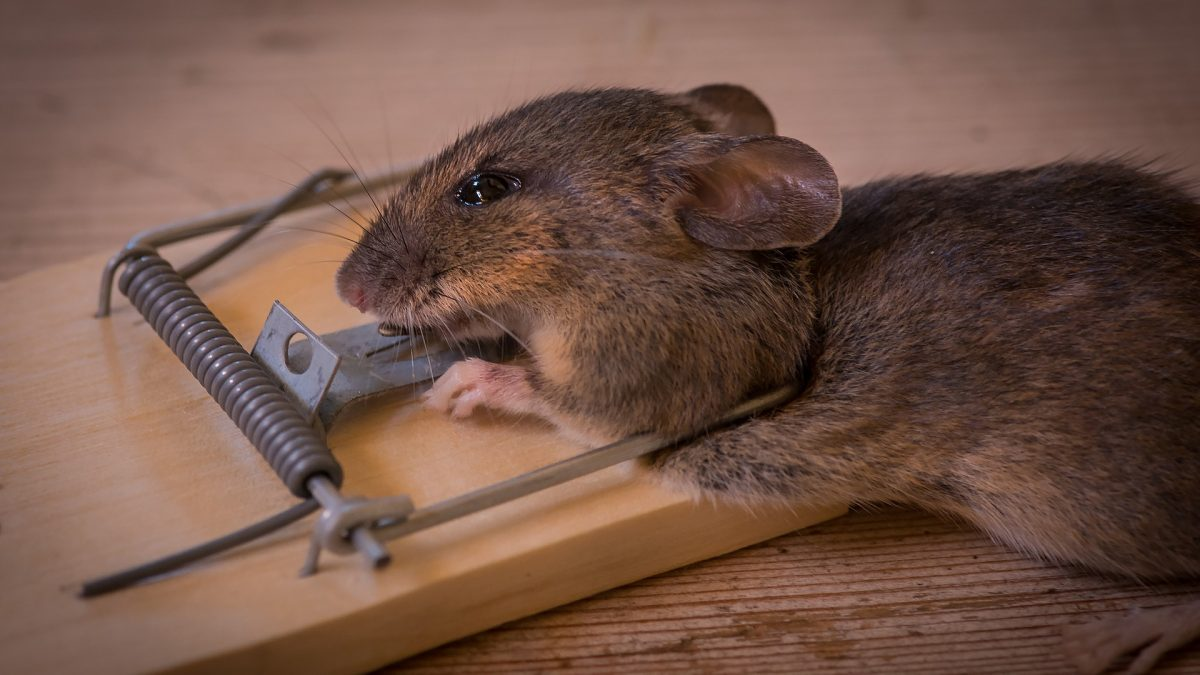 Keeping Rodents Away Sydney S Best Pest Control