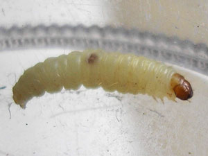 white worms larvae maggot